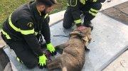 Vigili del fuoco salvano un capriolo caduto in una vasca