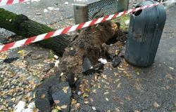 Viale Garibaldi, si valuta l'abbattimento di alcuni alberi
