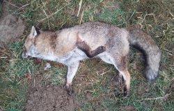 Trovata una volpe morta priva di ferite, possibile avvelenamento