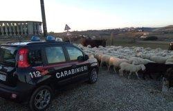 Non sposta il gregge di pecore: multato con 1.300 euro