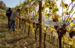 """Città del vino: nasce la """"vendemmia turistica"""""""