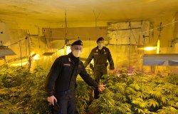 Trovata in un bosco una serra con 131 piante di marijuana