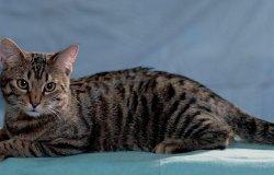 Identificato primo caso in Italia di variante inglese su un gatto