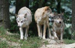 Piemonte: stanziati 300mila euro per i danni causati dai lupi