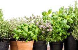 Piante fiorite e aromatiche per sostenere la Lilt di Vercelli