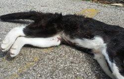 Gatto investito: arrivano i vigili ma una signora lo vuole portar via