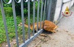 Capriolo incastrato in un cancello: liberato dai vigili del fuoco