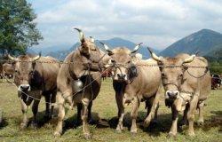 Riparte l'organizzazione della Fiera del bestiame