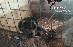 Santhià: sequestrati sedici cani in pessime condizioni igieniche