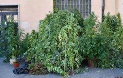 Costanzana: in giardino aveva 48 piante di marijuana, denunciato