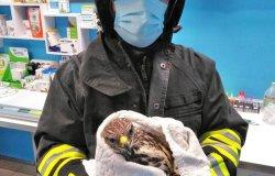 Poiana ferita salvata dai vigili del fuoco di Varallo
