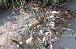 Balocco: decine di pesci morti nella roggia Molinara