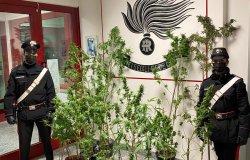 Ronsecco: 30 piante di cannabis dentro una serra in cortile, arrestato