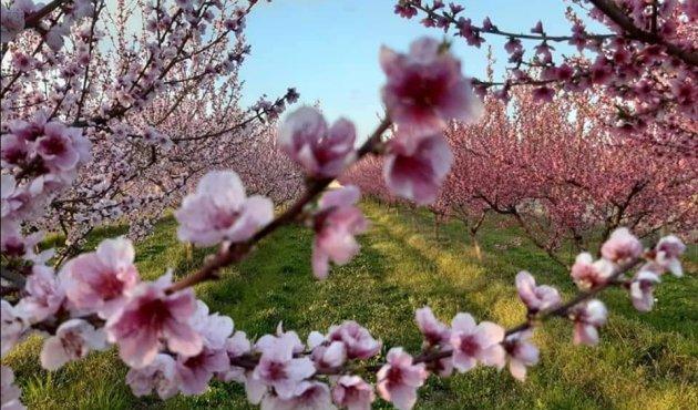Borgo d'Ale peschi in fiore